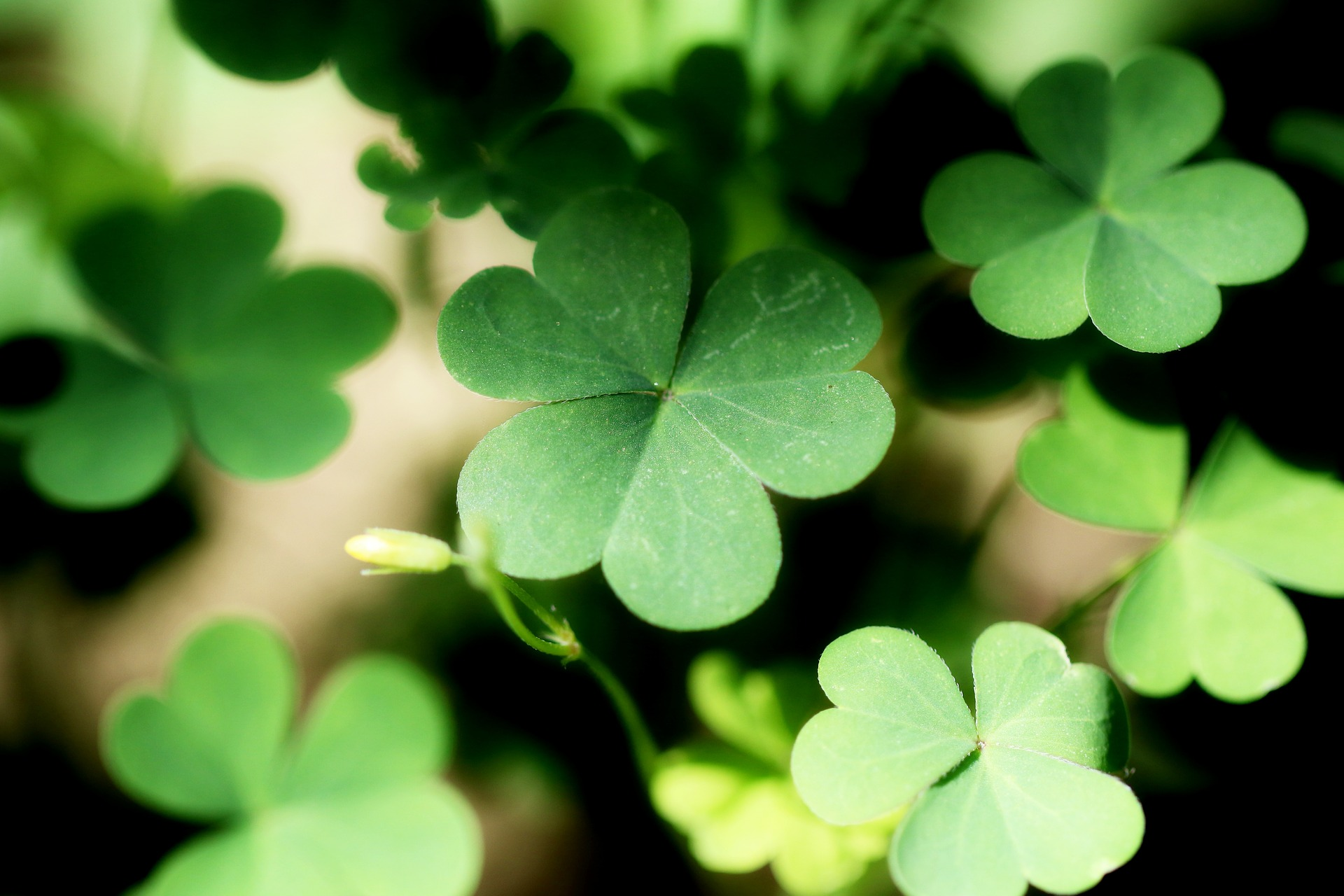 Group Of Shamrocks